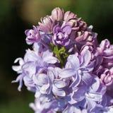 Błękitny lily zbliżenie Obraz Stock