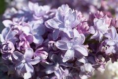 Błękitny lily zbliżenie Obraz Royalty Free