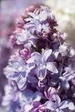 Błękitny lily zbliżenie Zdjęcie Stock
