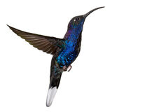 błękitny lota hummingbird odosobniony biel Obrazy Royalty Free