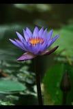 błękitny lotos fotografia stock