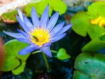Błękitny lotos Fotografia Royalty Free