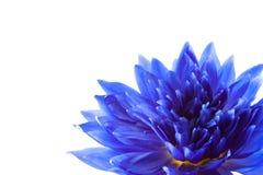Błękitny lotos na białym tle obraz stock