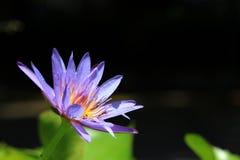Błękitny Lotosowy kwiat z przestrzenią dla teksta Zdjęcie Stock