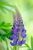 Błękitny lupine kwiat Zdjęcie Royalty Free