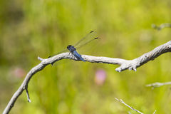 Błękitny Męski Łupkowaty Cedzakowy Dragonfly Zdjęcia Stock