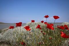 błękitny maczków czerwieni niebo Zdjęcie Royalty Free