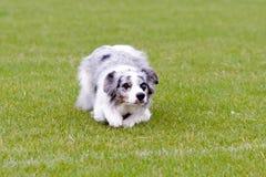 Błękitny Merla Border collie psa lying on the beach na trawie w parku obrazy stock
