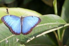 Błękitny Monarchiczny motyl siedzi w ogródzie botanicznym Montreal Fotografia Royalty Free