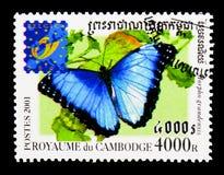 Błękitny Morpho motyl, motyl - Belgica (Morpho granadensis) Obrazy Royalty Free
