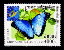 Błękitny Morpho motyl, motyl - Belgica (Morpho granadensis) Zdjęcia Royalty Free