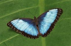 Błękitny Morpho motyl, Morpho peleides Fotografia Stock