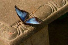 Błękitny Morpho motyl na ławce Fotografia Stock