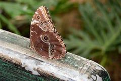 Błękitny morpho motyl na drewnie zdjęcie stock
