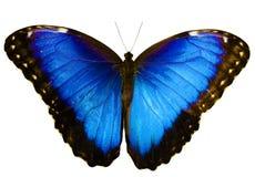 Błękitny morpho motyl odizolowywający na białym tle z rozciągniętymi skrzydłami Obraz Stock