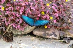 Błękitny Morpho motyl przy Montreal ogródem botanicznym Obraz Stock