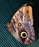 Błękitny Morpho motyl Umieszczający Na siatkarstwie Piękno natura zdjęcia royalty free