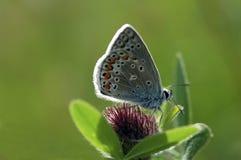 Błękitny motyl Fotografia Stock