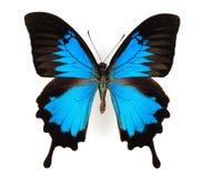 błękitny motyl Obraz Royalty Free
