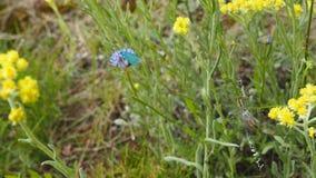 Błękitny motyl i osa pająk Obrazy Stock
