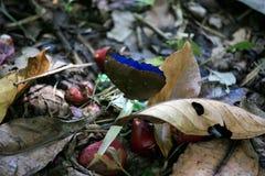 Błękitny motyl: Morpho gatunki wzdłuż Georges De l'Oyapock, Francuski Guiana Obraz Royalty Free