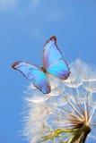 Błękitny motyl na dandelion Fotografia Stock