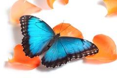 Błękitny motyl na pomarańczowych płatkach Zdjęcia Stock