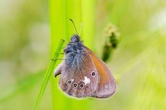 Błękitny motyl siedzi na gałąź Zdjęcia Stock