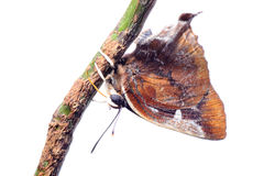błękitny motyla srebra smuga Fotografia Stock