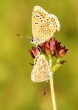 błękitny motyli chalkhill Fotografia Royalty Free