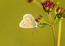 błękitny motyli chalkhill Obraz Royalty Free