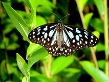 błękitny motyli ciemny tygrys Zdjęcie Stock