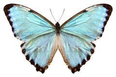 Błękitny motyli gatunków Morpho portis thamyris Zdjęcie Stock