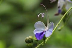 Błękitny motyli krzak Zdjęcia Royalty Free