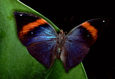 błękitny motyli morpho Zdjęcia Stock