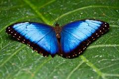 błękitny motyli morpho Zdjęcia Royalty Free