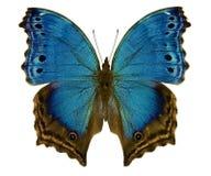 Błękitny motyli salami temora Fotografia Royalty Free