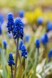 Błękitny muscari kwitnie zakończenie obraz stock