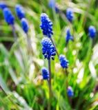 Błękitny muscari kwitnie zakończenie fotografia royalty free