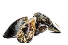 Błękitny mussel bivalve zdjęcia royalty free