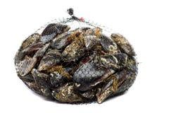 Błękitny mussel bivalve obraz stock