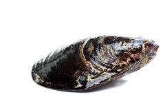 Błękitny mussel bivalve obrazy royalty free