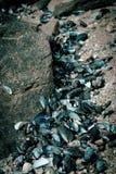 błękitny mussel skorupy Obraz Royalty Free