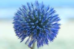 Błękitny naturalny tło Błękitny round kwiat błękitny Zdjęcia Royalty Free
