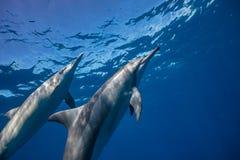 Błękitny ocean wody tło z dzikimi delfinami fotografia royalty free