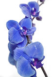 błękitny orchidee Obraz Royalty Free