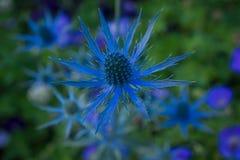 Błękitny oset w morzu greenery Fotografia Stock