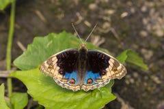 Błękitny Pansy motyl (Junonia orithya) Obrazy Royalty Free