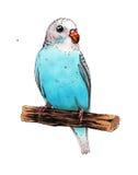 błękitny papugi dwa Zdjęcie Stock