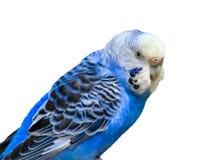 Błękitny Parakeet obraz royalty free